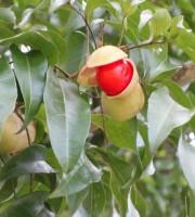 small leaf tamarind